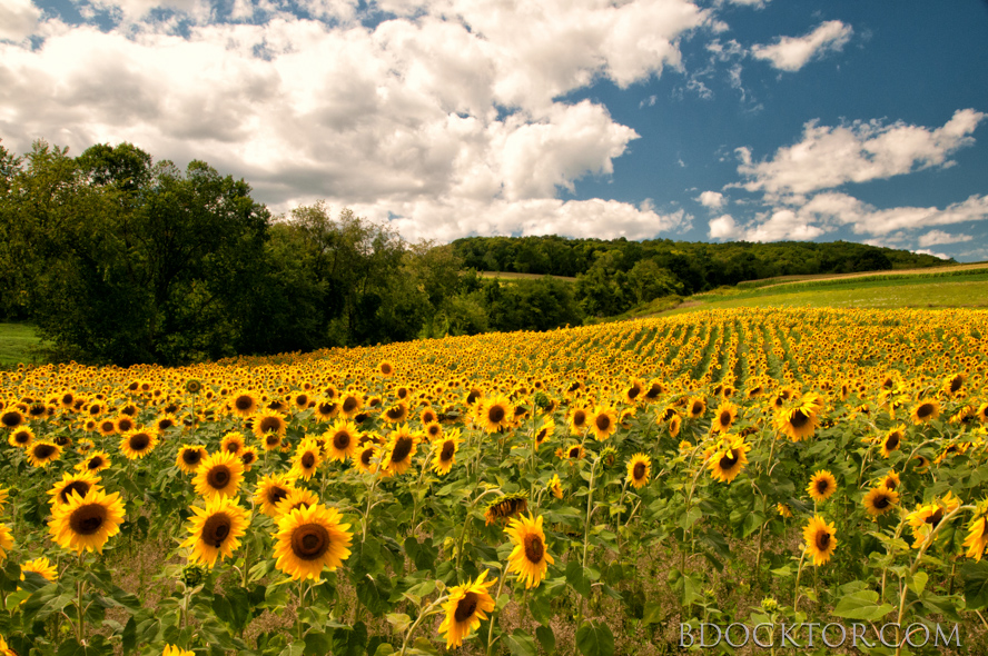 Ancram landscape: Sunflowers on Rt. 7. (No, they're not there yet this year).