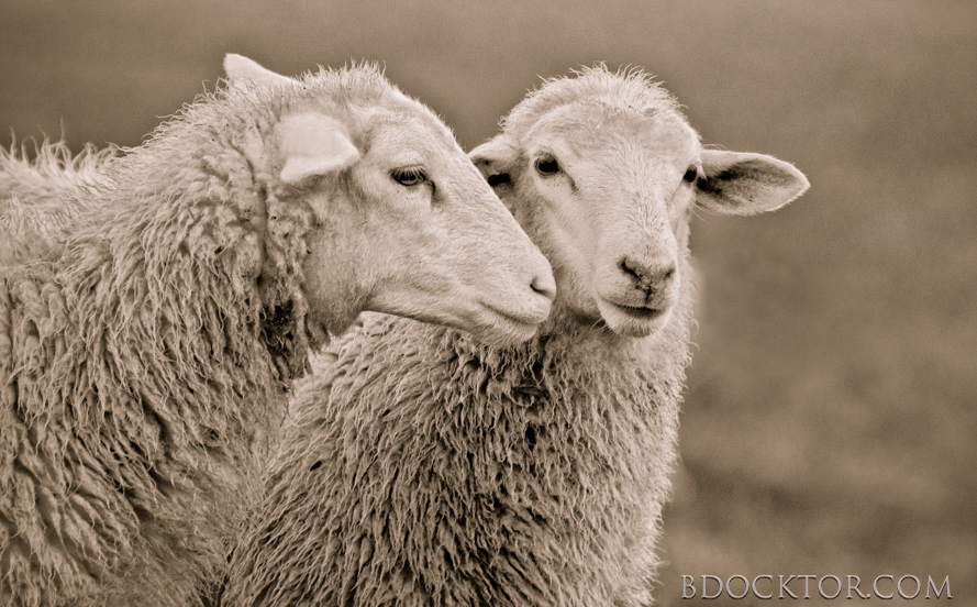 Ancram animals: Herondale Farm Whispering Sheep