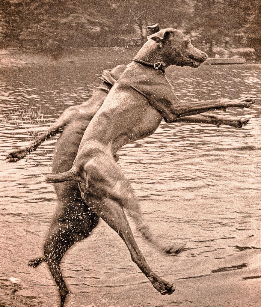 Jumping Weimaraners by B. Docktor